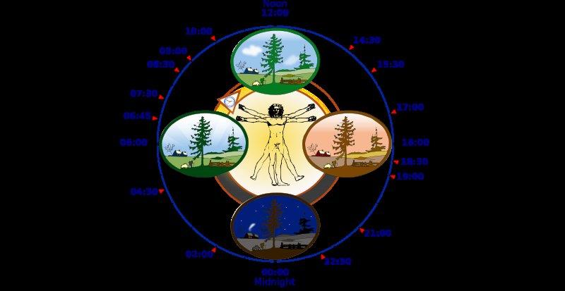 Biological clock human